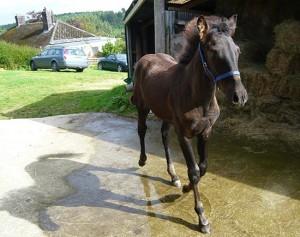 Bajardo Pre Foal off to Grimsby