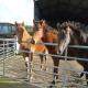 weaned foals 2014