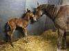 foal5