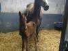 foal6