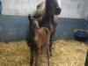 foal7